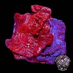 LiveAquaria® CCGC Aquacultured Photosynthetic Plating Red & Blue Sponge