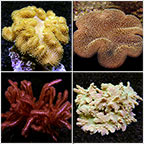 Beginner Soft Coral Pack