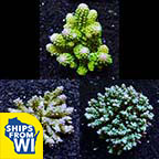 Assorted Tongan Acropora Coral 3 Pack