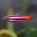 Ruby Red Pencilfish