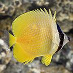 Orange Butterflyfish