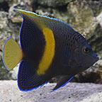 Maculosus Angelfish