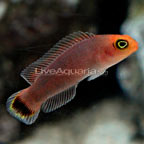 Red Elongated Dottyback