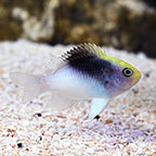 Black Cap Damselfish