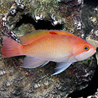 Stocky Anthias, Female