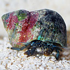 Dwarf Yellow Tip Hermit Crab