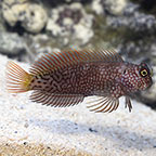 Blennies: Blenny Fish Species Including Bicolor, Striped and other Blennies