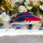 Exquisite Fairy Wrasse