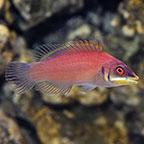 Scarlet Pin Stripe Wrasse