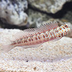 Orange Spotted Blenny