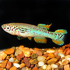 Killifish for Sale: Lyretail, Clown Killifish and other Killies