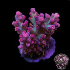 Strawberry Shortcake Acropora Coral, Aquacultured