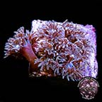 LiveAquaria® CCGC Aquacultured Purple Anthelia Coral