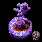 Pink Branching Cyphastrea Coral, Aquacultured