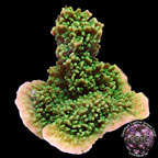 Green Apple Cap Coral, Aquacultured