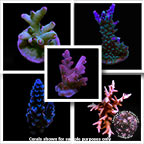 LiveAquaria® Certified Limited Edition Frag Pack, Aquacultured
