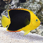 Rock Beauty Angelfish