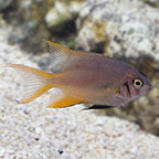 Blackmouth Bicolor Chromis