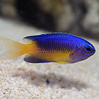 Blue and Gold Damselfish
