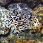 Filefish Marine Fish