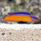 Neon Dottyback, Captive-Bred