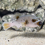 Arothron Dog Face Puffer