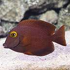 Kole Yellow Eye Tang