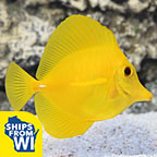 Yellow Tang, Hawaii