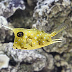 Boxfish Marine Fish