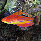 Carpenter's Flasher Wrasse