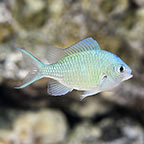 Chromis for Sale: Blue and Green Chromis and other Reef Species