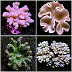 Beginner Soft Coral Pack - Maricultured