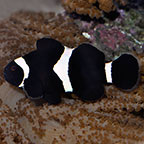 Black and White Ocellaris Clownfish, Captive-Bred