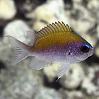 Sunshine Chromis, Purple & Yellow