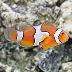True Percula Clownfish, Captive-Bred