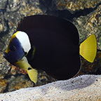 False Personifer Angelfish