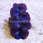 Crocea Clam, Aquacultured