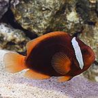 Tomato Clownfish, Captive-Bred