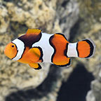 Black Onyx True Percula Clownfish, Captive-Bred