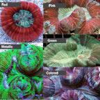 Brain Coral, Trachyphyllia