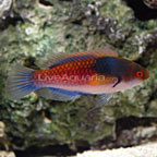 Yellow-Flanked Fairy Wrasse