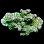 Merulina Coral
