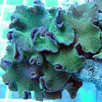 Green Fluorescent Mushroom