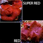 Mushroom Coral, Red