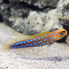 Jawfish, Blue Dot