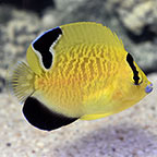 Goldflake Angelfish, Juvenile - Small