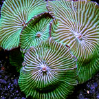 Green Striped Mushroom