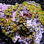Colony Polyp, Orange/Green