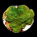 Green Montipora Capricornis Coral, Aquacultured ORA®