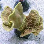 Cup Coral, Turbinaria
